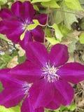 与美丽的紫色花的爬行物 免版税库存图片