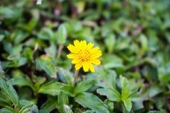 与美丽的黄色花的背景 免版税库存图片