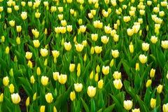 与美丽的黄色郁金香的春天背景 有益于自然设计 免版税库存照片