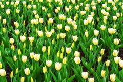 与美丽的黄色郁金香的春天背景 有益于自然设计 免版税图库摄影