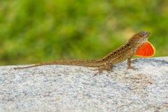 与美好的样式和一个红色便士的布朗蜥蜴 免版税库存照片