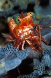 与美好的橙色和白色标号的一只saron虾 图库摄影