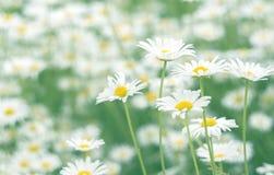 与美好的淡色的精美领域春黄菊 有选择性的软的焦点 免版税库存图片
