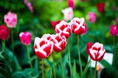 与美好的色的郁金香领域的春天 背景美丽的花 惊人的看法明亮桃红色郁金香开花 库存图片