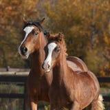 与美好的驹赛跑的惊人的母马 库存图片