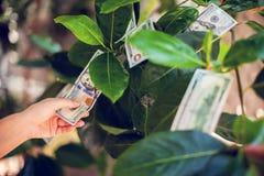 与美金的金钱树在叶子 手收集星期一 免版税库存图片
