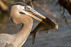 与美洲河鲱的伟大蓝色的苍鹭的巢 免版税库存图片