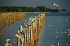 与美洲红树的海鸥 免版税图库摄影