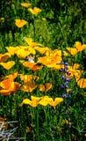 与羽扇豆的沙漠poppys 免版税库存照片
