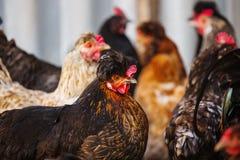与羽毛一束的杂色的母鸡  有顶饰品种 库存照片