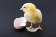 与羽毛和蛋壳的黄色新出生的鸡 免版税库存照片
