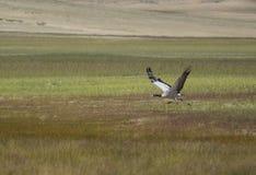 与羽毛的一只大野生白色鸟在它的在长的腿的翼运行通过一个绿色草甸和扔它的翼对飞行,鹳 免版税库存图片