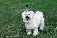 与羽毛的滑稽的逗人喜爱的狗喜欢印地安人 库存照片