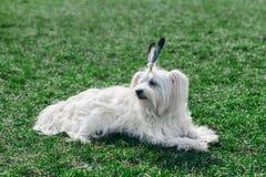 与羽毛的滑稽的逗人喜爱的狗喜欢印地安人 图库摄影