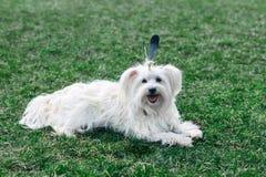 与羽毛的滑稽的逗人喜爱的狗喜欢印地安人 免版税库存照片