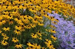 与翠菊花的黄金菊fulgida 库存图片