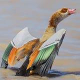 与翼传播的埃及鹅 图库摄影