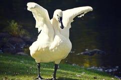 与翼传播的天鹅 库存图片