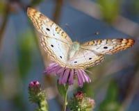 与翼传播的孔雀铗蝶 库存图片