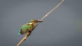 与翼传播的翠鸟 图库摄影
