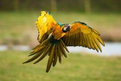 与翼传播的鹦鹉着陆 库存图片