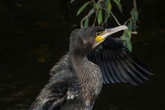 与翼传播的黑鸬鹚画象 免版税库存图片
