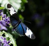 与翼传播的黑,白色和蓝色蝴蝶开放在与非常浅景深的一朵紫色花 库存图片