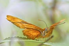 与翼传播的蝴蝶 免版税库存图片