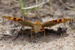 与翼传播的蝴蝶 库存图片