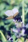 与翼的一只公共同的蓝色蝴蝶在花打开 库存图片