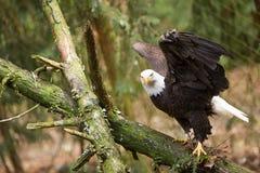 与翼的一只白头鹰打开看直接入照相机 免版税库存图片