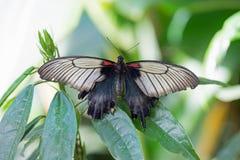 与翼的一只美丽的燕尾状蝴蝶扩大了基于一片充满活力的绿色叶子 免版税库存图片