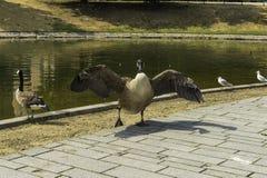 与翼的一只鸭子在湖, Nordliche Dussel传播了在Dussel 免版税图库摄影