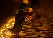 与翼的公野鸭鸭子被涂在日落 免版税库存图片