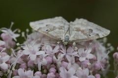 与翼的小白色蝴蝶打开 图库摄影