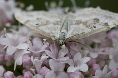 与翼的小白色蝴蝶打开 免版税库存照片
