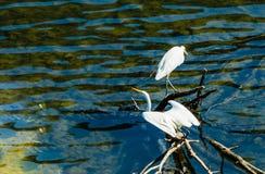 与翼的白色白鹭延伸采取飞行 库存照片