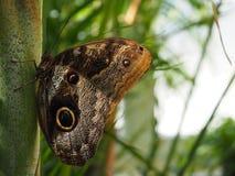 与翼的黄色渐近的巨型猫头鹰蝴蝶关闭了,为他们巨大的eyespots已知的Caligo atreus,类似猫头鹰`眼睛 库存图片