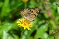 与翼的黑和黄色蝴蝶在泰国折叠了从一朵黄色象雏菊样的野花的啜饮的花蜜 免版税库存图片