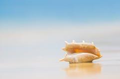 与翼角螺属truncata贝壳的一个海滩在沙子的 热带p 免版税库存图片