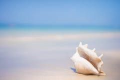 与翼角螺属truncata贝壳的一个海滩在湿沙子的 热带p 免版税库存照片