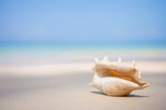 与翼角螺属truncata贝壳的一个海滩在湿沙子的 热带p 免版税库存图片