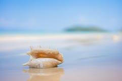 与翼角螺属truncata贝壳的一个海滩在湿沙子的 热带p 库存照片