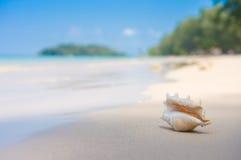 与翼角螺属truncata贝壳的一个海滩在湿沙子的 热带p 库存图片