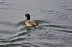 与老傻瓜游泳的美丽的明信片在湖 免版税库存照片