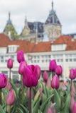 与老欧洲大厦的许多桃红色郁金香作为背景 免版税库存照片