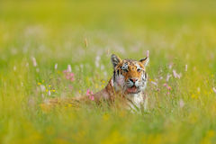 与老虎的夏天图象 与桃红色和黄色花的老虎 东北虎在美丽的栖所 坐在草的阿穆尔河老虎 免版税库存照片