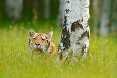 与老虎的夏天,掩藏在草 与桃红色和黄色花的老虎 东北虎在美丽的栖所 参加阿穆尔河的老虎  免版税库存图片