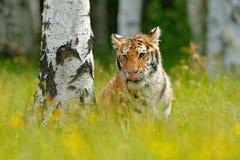 与老虎的夏天,掩藏在草 与桃红色和黄色花的老虎 东北虎在美丽的栖所 参加阿穆尔河的老虎  库存图片