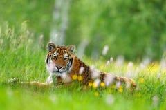 与老虎的夏天 与桃红色和黄色花的老虎 东北虎在美丽的栖所 坐在草的阿穆尔河老虎 Flowe 免版税库存图片